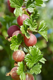 10 Red Gooseberry Captivator Plants Ribes uva Crispa, Multi-stemmed 3-5 Branches