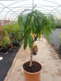 Dwarf Patio Peach Tree 'Bonanza', In 5L Pot, Miniature Self-Fertile & Heavy Cropping