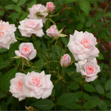 'Cecile Brunner' Fragrant Climbing Rose Bush, Delicate Soft Pink Hardy China Rose