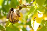 English Walnut Fruit Tree 1-2ft In a 2L Pot,Grow Nuts,Persian Juglans Regia