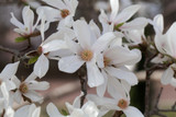 Magnolia 'Kobus' 2-3ft Tall In 2L Pot, Fragrant White Flowers In Your Garden!