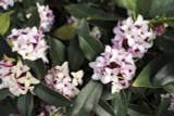 Daphne Odora / Winter Daphne, 1ft Tall in 2L Pot, Stunning Winter Flowers