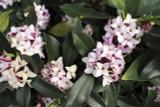 Daphne Odora / Winter Daphne, 20-30cm Tall in 2L Pot, Stunning Winter Flowers