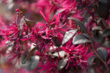 Loropetalum chinense rubrum Fire Dance, Witch Hazel 20-30cm Tall In 2L Pot Stunning Colours