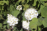 3 Physocarpus capitatus Tilden Park, 25-35cm Tall In 1.5L Pots, Stunning Shrubs