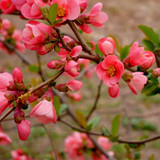Chaenomeles × superba 'Pink Lady' / Japanese Quince,  In 1-2L Pot