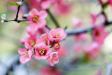 Chaenomeles × superba 'Pink Lady' / Japanese Quince, 20-30cm Tall In 1-2L Pot