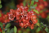 Chaenomeles × superba 'Nicoline' / Japanese Quince, 20-30cm Tall In 2L Pot