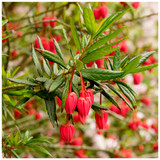 Crinodendron Hookerianum / Chile lantern tree  In a 2L Pot