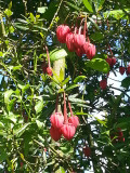 Crinodendron Hookerianum / Chile lantern tree 25-35cm Tall In a 2L Pot