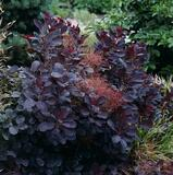 Cotinus Coggygria 'Royal Purple' / Smoke Tree, 20-30cm Tall, Bushy, In 1- 2L pot