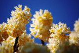 Edgeworthia Grandiflora Crysanthamum / Paperbush, In a 1.5L Pot, Stunning Flowers