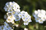 3 Spiraea nipponica 'Halward's Silver' Plants 30-40cm Tall, 1.5L Pots