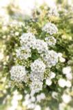 3 x Vanhoutte's Spirea (Meadowsweet) / Spiraea Vanhouttei in 2L Pots