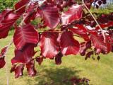 10 Copper / Purple Beech - Fagus Sylvatica Atropurpurea, 1-2ft Tall In a 1L Pots