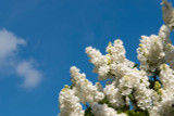 'Madame Lemoine' Syringa Vulgaris-Branched Lilac Tree 40-60cm Shrub in a 2L Pot.
