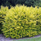 50 x Golden Privet / Ligustrum Ovalifolium Aureum, 20-40cm Supplied In a 9cm Pot