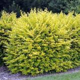 3 x Golden Privet / Ligustrum Ovalifolium Aureum, 20-40cm Supplied In a 9cm Pot