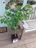 Dwarf Patio Victoria Plum Tree, In a 5L Pot, Miniature & Self-Fertile
