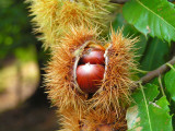 1 Sweet Chestnut Tree 2-3ft,Castanea Sativa in a 2L Pot, Edible Nuts to Roast