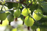 3 Green Gooseberry Plant/Ribes uva-crispa 'Invicta 60-90cm ready to fruit 2L Pot