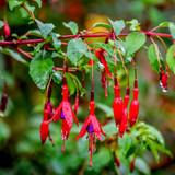 3 Hardy Fuchsia 'Fuchsia Riccartonii' Plants In 1.5L Pots, Beautifull Colours