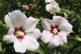 Lavatera Clementii Barnsley / Tree mallow, In 2L Pot, Stunning Flowers