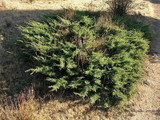 3 Juniperus Communis 'Repanda' Plants / Juniper 'Repanda' 20-25cm In 1-2L Pots