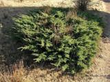 3 Juniperus Communis 'Repanda' Plants / Juniper 'Repanda' 20-25cm In 1-2L Pots