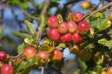 Crab Apple / Malus 'RED SENTINEL' Tree 4-5ft Tall, 6L Pot