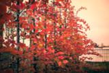 Hornbeam 'Rockhampton Red' 4ft Tall, Stunning Carpinus Betulus Tree 2L Pot