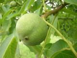 Large English Walnut Fruit Tree 3-4ft Tall, 5 Litre Pot,Grow Nuts,Juglans Regia