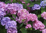 Hydrangea macrophylla Bouquet Rose In 2L Pot, Stunning Pink Flowers