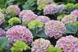 Hydrangea macrophylla 'Peppermint' 20-30cm Tall In 2L Pot, Outsanding Coulours