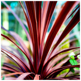 Cordyline Australis 'Red Star', 2ft Tall in a 2L Pot, Unique Red Foliage