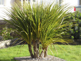 3 Cordyline Australis Plants / Cabbage Palm Trees, 30-40cm Tall in a 2L Pots