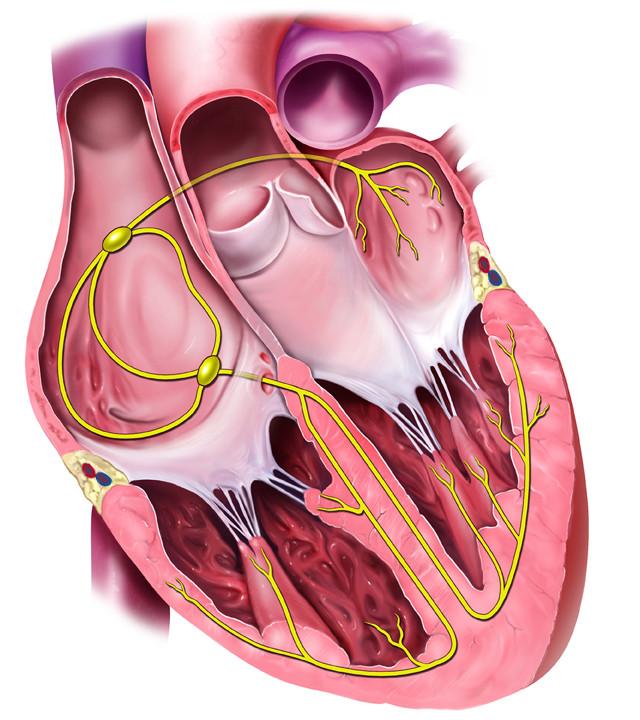 Heart Conduction System Medmediasolutions