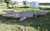 Giant Crocodile Statue 28FT
