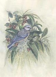 Blue Tit , Fiddlewood & Berries