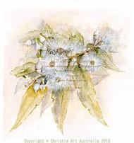 White flowering gum