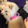 Lily, modeling the interior safety lead that attaches to your pets harness to keep them safely tethered inside