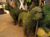 Boston Terrier Mossed Frame Topiary Dog showing realistic eyes