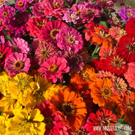 zinnia, cut flower, cut zinnias, zinnia bouquet