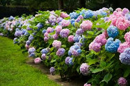 hydrangea, endless summer, cut flower