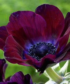 bordeaux, anemone, galilee