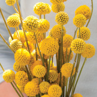 Craspedia, Drumstick, Yellow Cut Flower