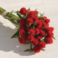 Globe Amaranth, Gomphrena, Red, Cut Flower
