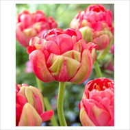 Double Tulip Renown Unique - 10 Bulbs