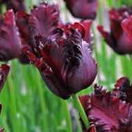 cut flower, tulip, black parrot tulip purple tulip