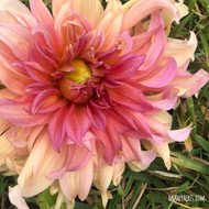 Fairway Spur Dahlia, Fairway Spur, Dahlia, Dinnerplate